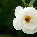 white_gold...